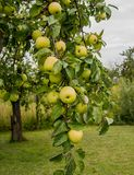 The bunch of autumn apples at garden Stock Photos