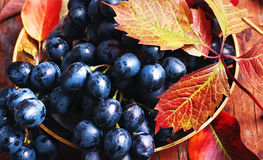 Bunch of autumn grape Stock Image