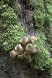 Bunch of autumnal Honey Fungus Stock Photo