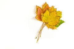 Bunch of autumnal maple leaves Royalty Free Stock Images