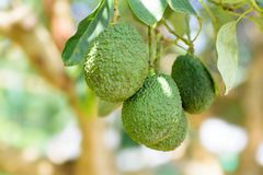 Bunch of avocado fruit hanging on tree branch Stock Photo
