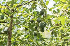 Bunch of avocado fruit hanging on tree Stock Photos