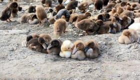 Bunch of baby ducks Stock Images