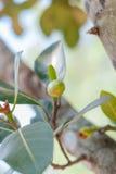 Bunch Of Baby Jackfruits Royalty Free Stock Photos