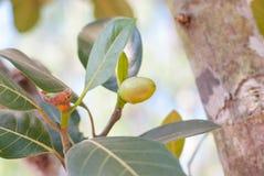Bunch Of Baby Jackfruits Royalty Free Stock Photo