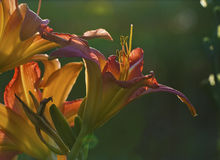 Bunch of backlit daylilies Stock Photography