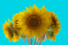 Bunch of backlit sunflowers blooming against a blue sky Royalty Free Stock Image