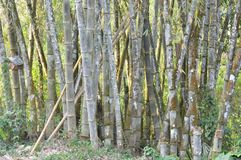 Bunch of Bamboo tree. At forest   in Sri Lanka Stock Image