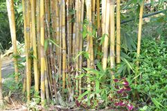 Bunch of Bamboo tree. At forest   in Sri Lanka Royalty Free Stock Photography