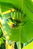 Bunch of banana. Close up of banana tree royalty free stock images