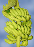 Bunch of banana. Bunch of fresh banana with drops over cloudy sky Stock Images