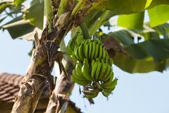 The bunch of banana growing on a tree Royalty Free Stock Photo