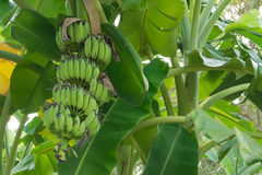 Bunch of banana growing on the tree Royalty Free Stock Image