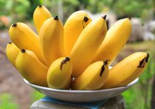 Bunch of Banana Planted in Cambodia, Southeast Asia royalty free stock photo