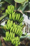 A bunch of banana on the tree royalty free stock photos