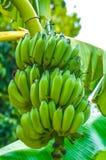 A bunch of bananas in Largo, Florida Stock Photos