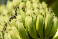 Bunch of bananas on a banana plantation in India. Humpi Stock Photo
