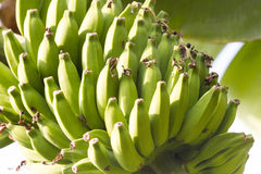 Bunch of bananas on a banana plantation in India Royalty Free Stock Photo