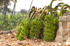 Bunch of bananas on a banana plantation in India. Humpi Royalty Free Stock Image