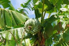 Bunch of bananas on banana tree. Bunch of green bananas on banana tree Royalty Free Stock Photography