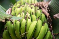 A Bunch of Bananas Stock Image
