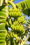 Bunch of bananas, Cultivated banana Royalty Free Stock Images