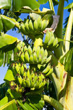 Bunch of bananas, Cultivated banana Stock Image