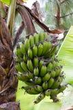 Bunch of bananas. Farming fields near arusha in tanzania, bunch of banana Stock Images