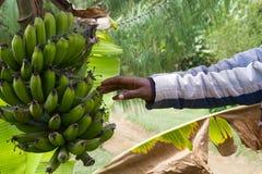 Bunch of bananas. Farming fields near arusha in tanzania, bunch of banana, hand touching it Stock Image