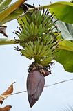 Bunch of bananas. With flower growing on Ko Lipe island in Thailand royalty free stock photo