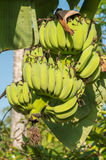 Bunch of bananas. Fruit from thailand Stock Photography