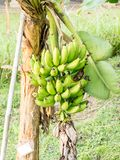 Bunch of bananas in garden Royalty Free Stock Image