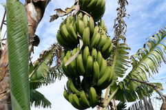Bunch of bananas growing on the tree Royalty Free Stock Images