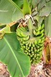 Bunch of bananas on plantation on Tenerife island Royalty Free Stock Photo