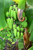 Bunch of bananas on plantation on Tenerife island Royalty Free Stock Image