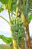 A bunch of bananas Royalty Free Stock Photos
