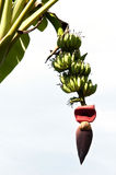 A Bunch of bananas on tree Royalty Free Stock Images