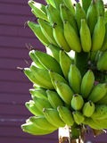 Bunch of bananas. Bunch of bananas on tree Royalty Free Stock Images
