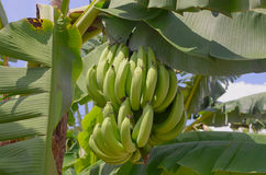 A bunch of bananas on the tree Royalty Free Stock Photos