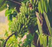 Bunch of bananas on tree in the jungle Stock Image