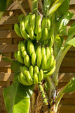 Bunch of bananas on tree Stock Image