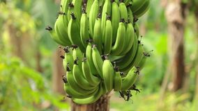 Bunch Of Bananas Tree Plantation HD Clip. Bananas growing in a field being blown in the wind on banana tree plantation farmland central Vietnam, high definition stock video footage