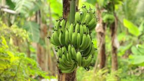 Bunch Of Bananas Tree Plantation HD Footage. Bananas growing in a field being blown in the wind on banana tree plantation farmland central Vietnam, high stock footage