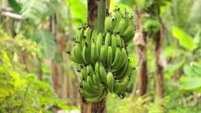 Bunch Of Bananas Tree Plantation HD Footage stock footage