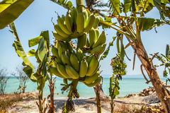 Bunch of bananas on tree Stock Images