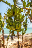 Bunch of bananas on tree Royalty Free Stock Photo