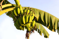 Bunch of bananas on tree Royalty Free Stock Photography