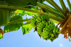 Bunch of bananas on a tree Stock Images