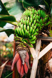 Bunch of bananas on tree. Stock Photos