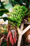 Bunch of bananas on tree. Stock Photos